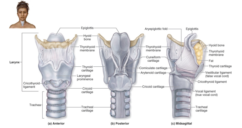 The Anatomy Of The Larynx Videos Jeffrey Gemmells Repository Of